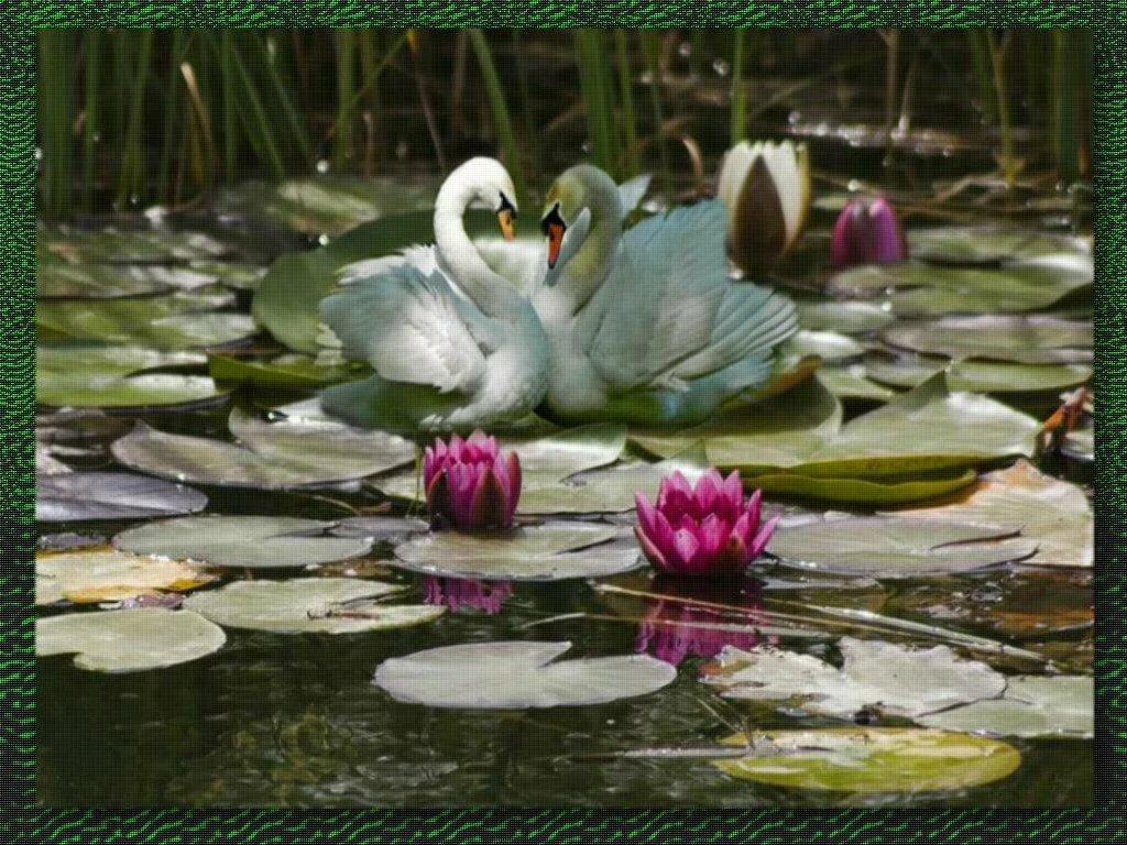 Картинки лебеди на озере с кувшинками на пруду фото на природе