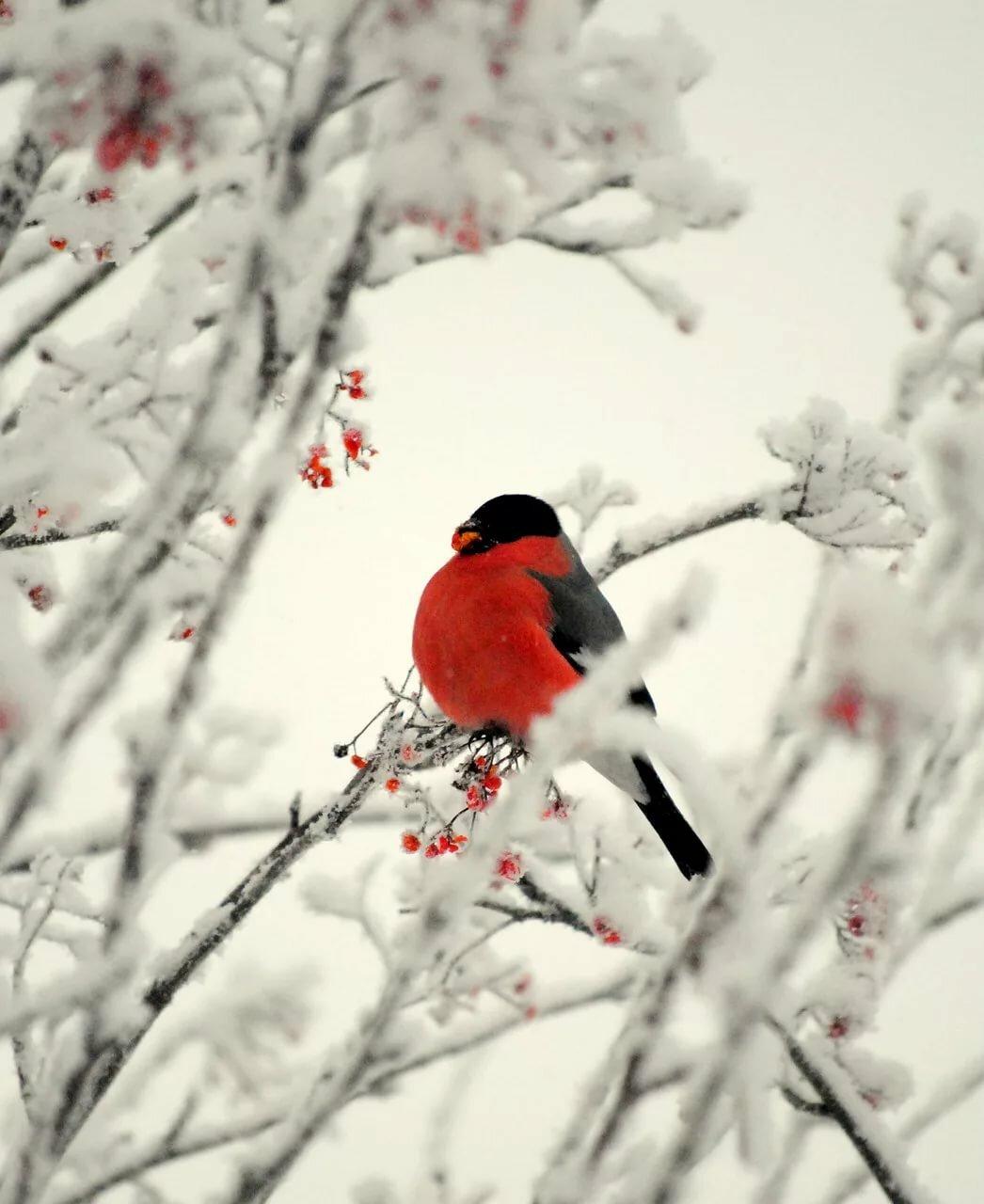 вертикальные фото в зимнем лесу со снегирями оформить