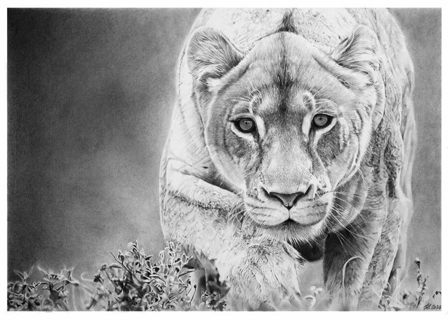 Львица черно белый рисунок