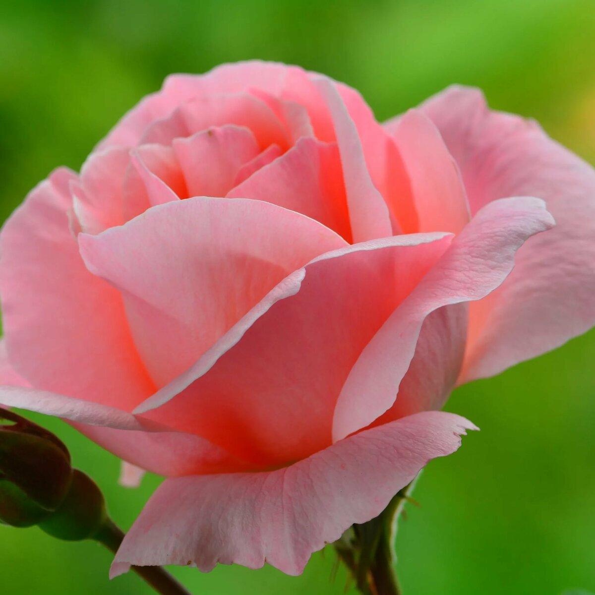 Красивые розы красивые картинки
