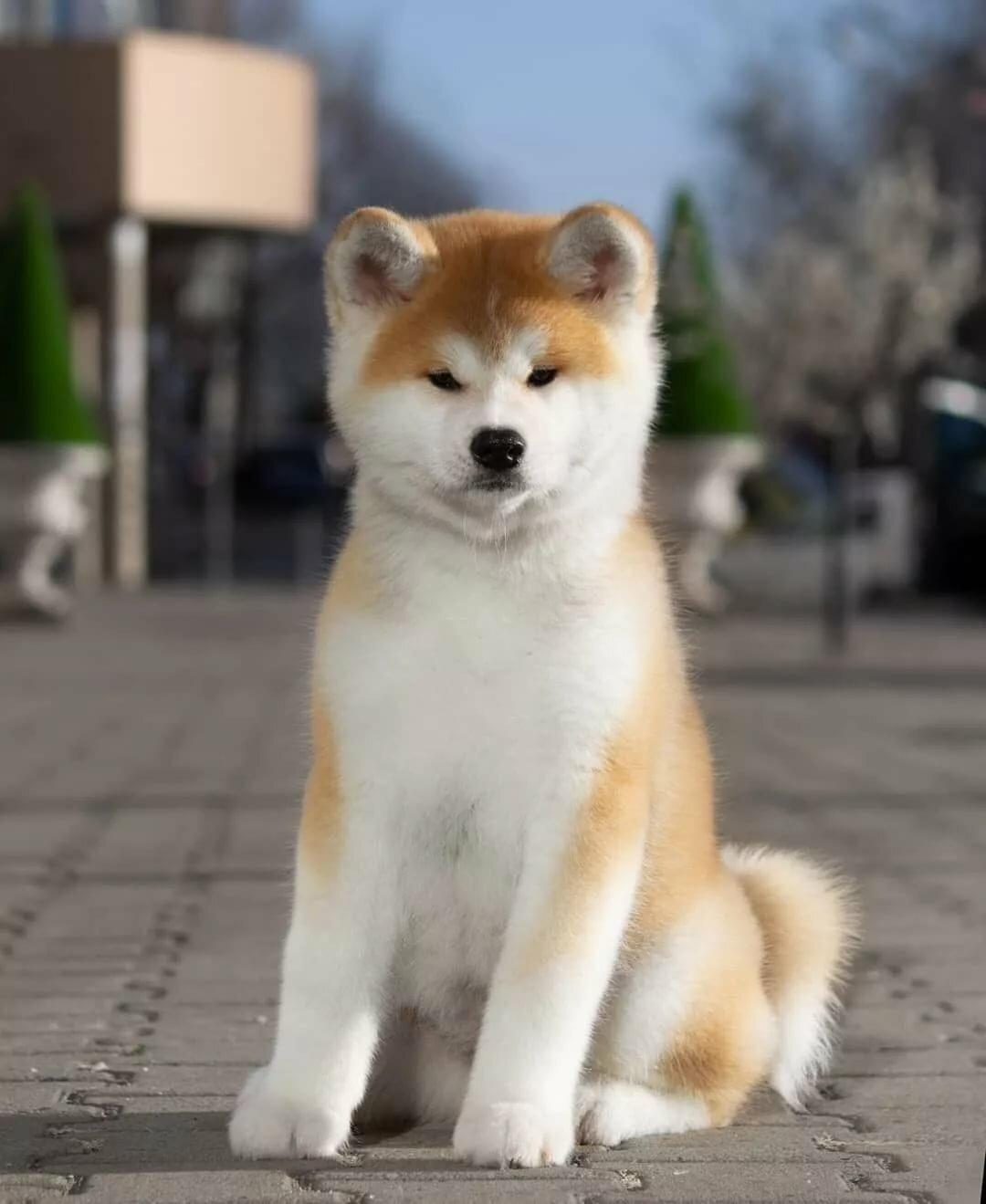 акита щенок картинка повышение