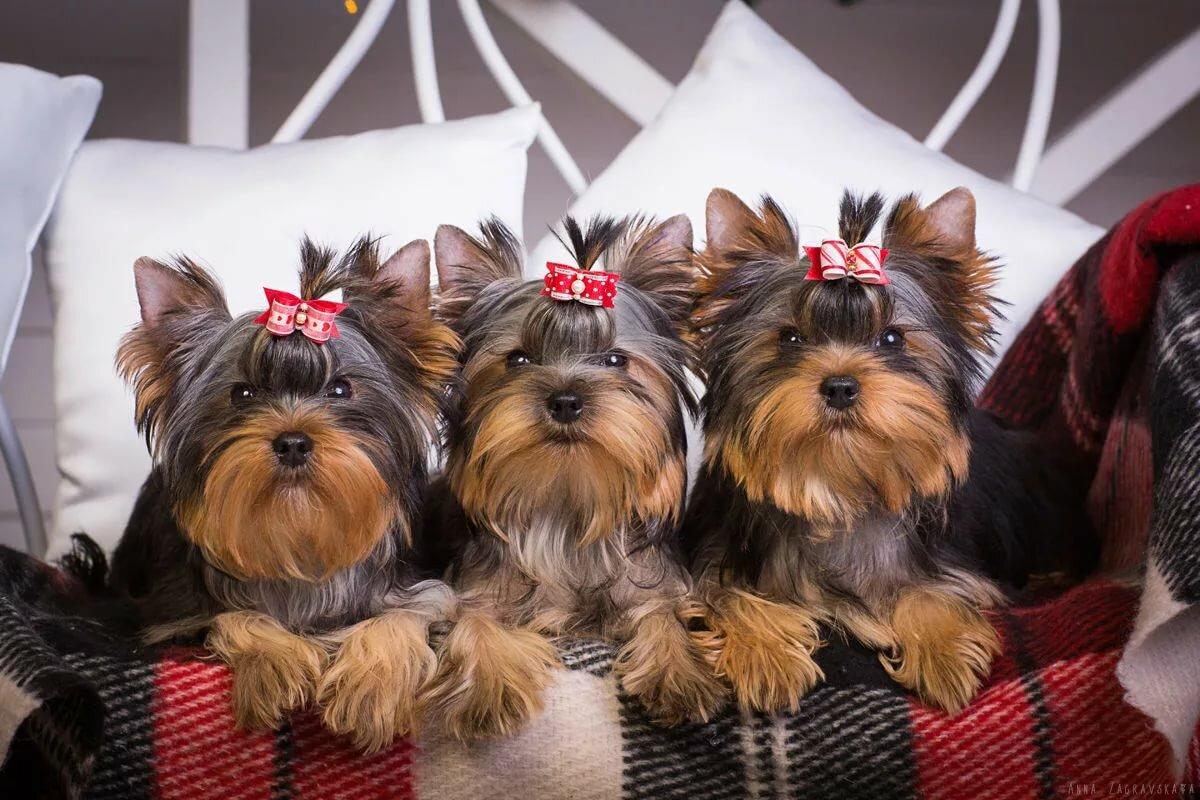 связи крупной картинки с собаками йорки столы характеризуются