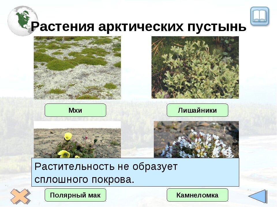 Арктические пустыни в россии растения