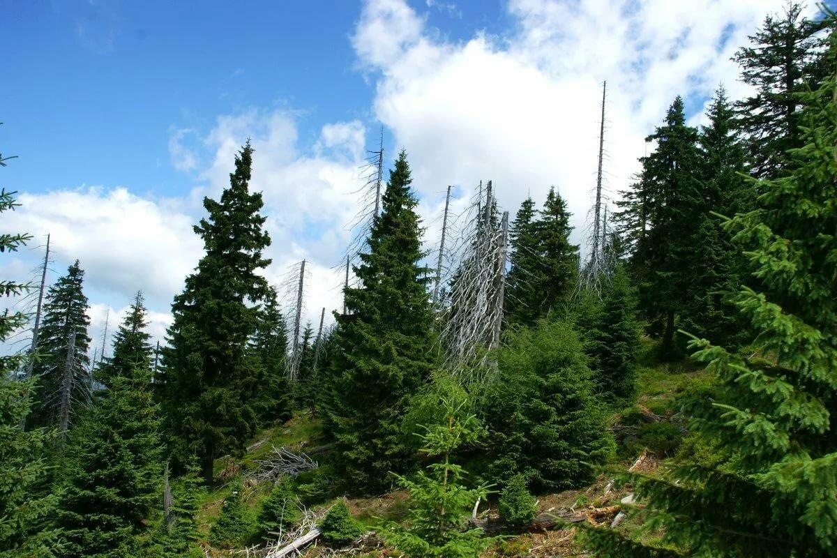 Картинки красивый хвойный лес