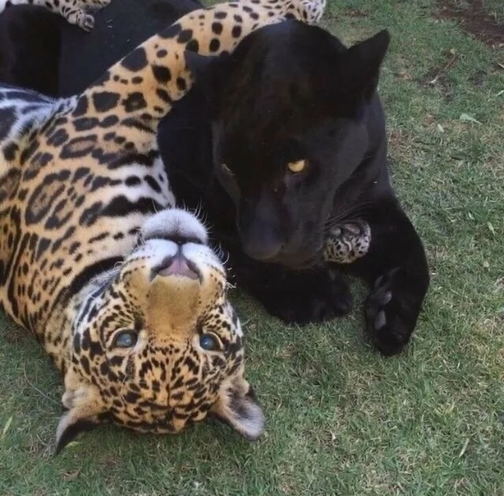 картинки пантера гепард что-то
