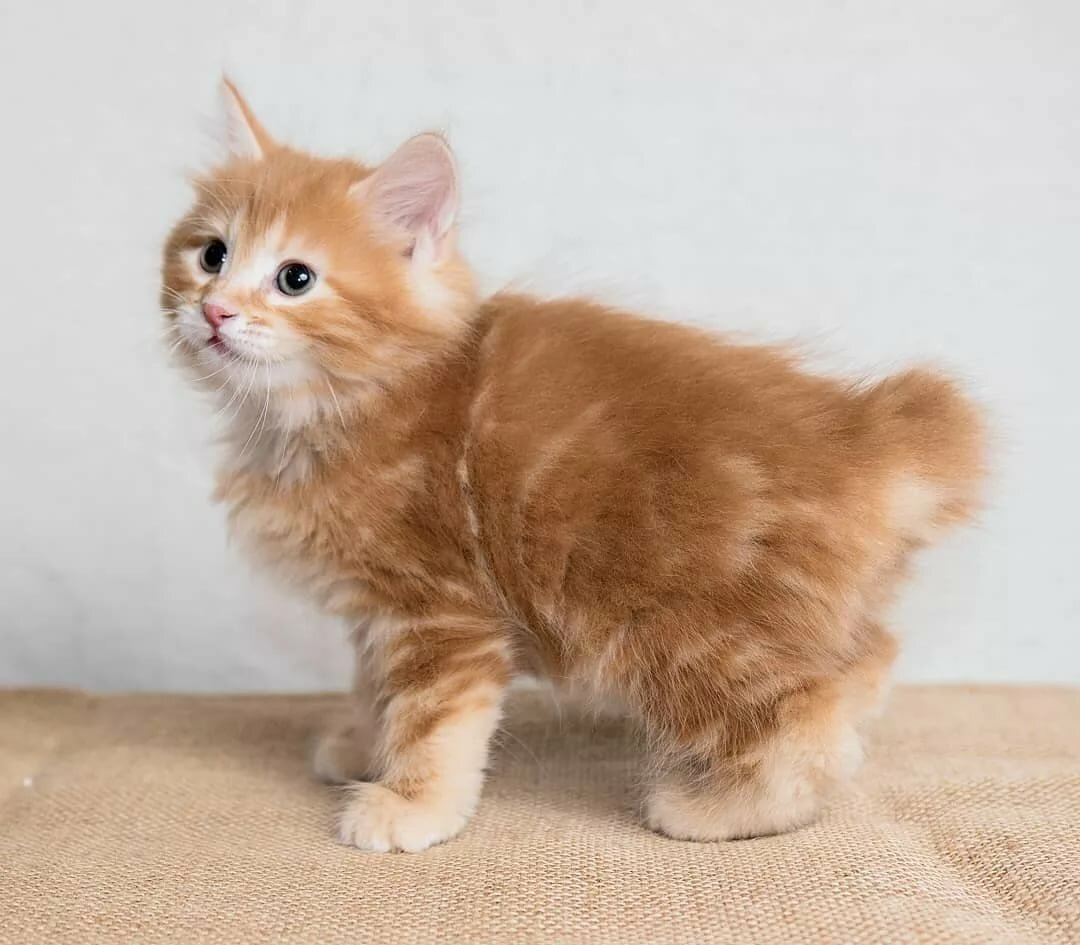 Картинки кошки бобтейлы законному распоряжению