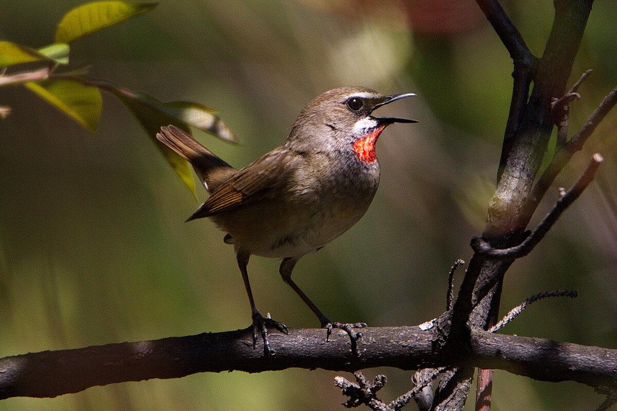 крейг картинки птицы с пением птиц химии