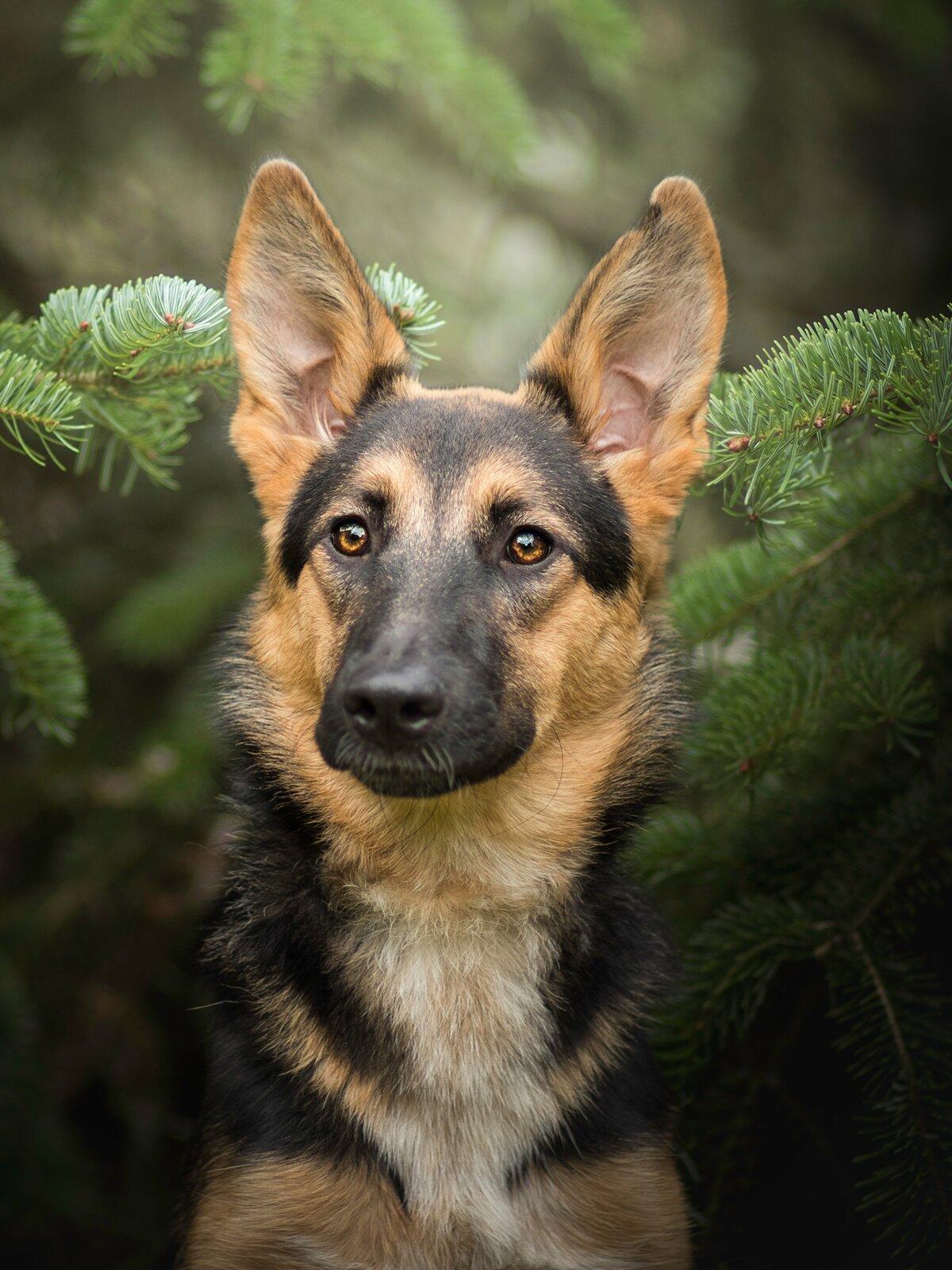 «Обои для рабочего стола Немецкая овчарка собака Животные ...
