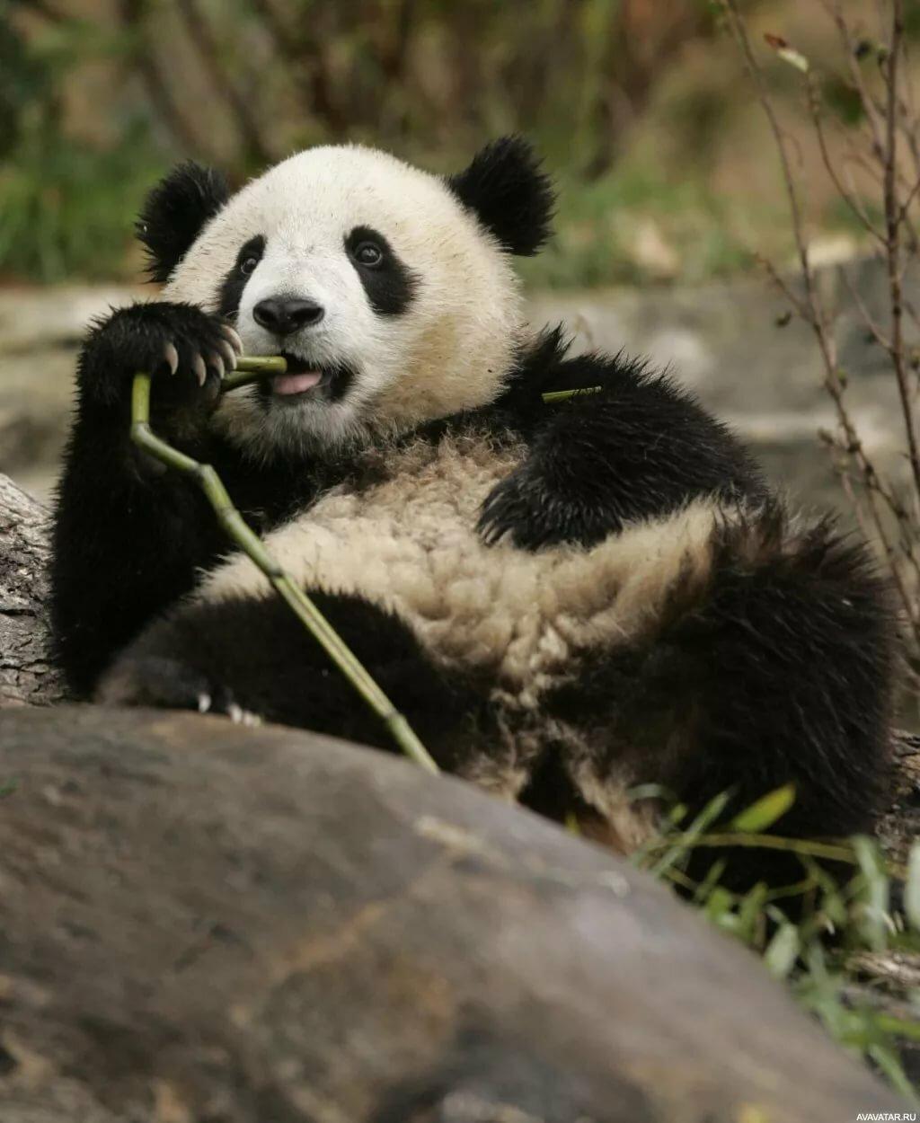 картинка панду андарз