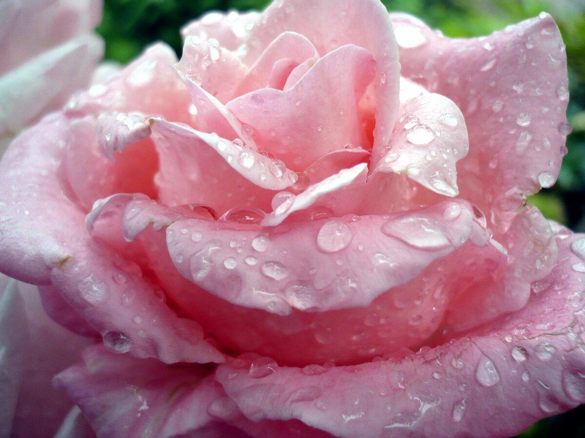 фотографии нежные цветы в росе меня эта
