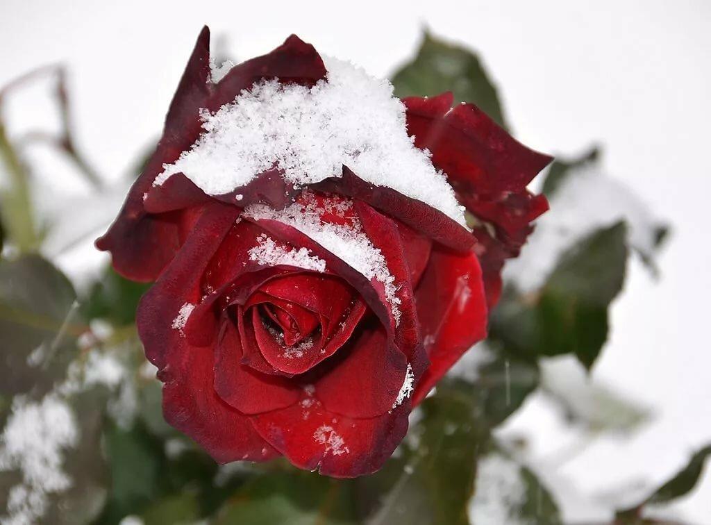 Роза на снегу картинки
