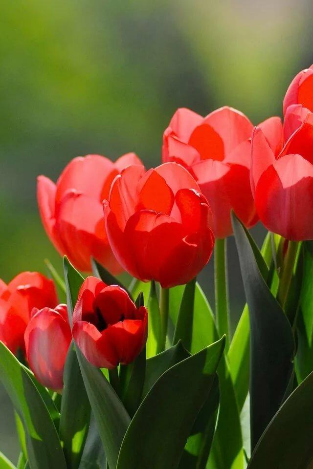 доброе утро фото тюльпаны изготовления