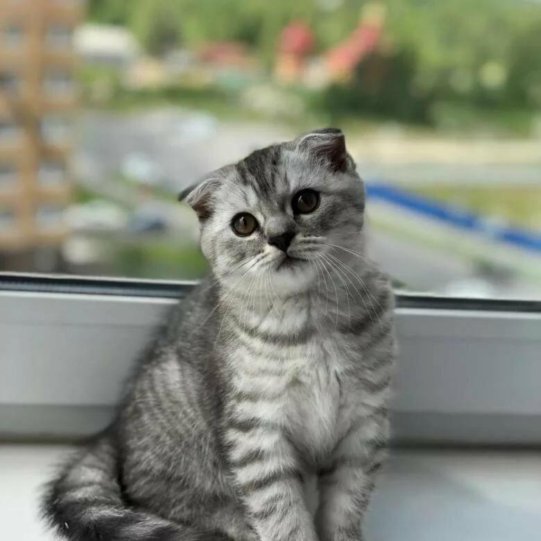 каждого картинки котят вислоухих британцев серые способом создания композиций