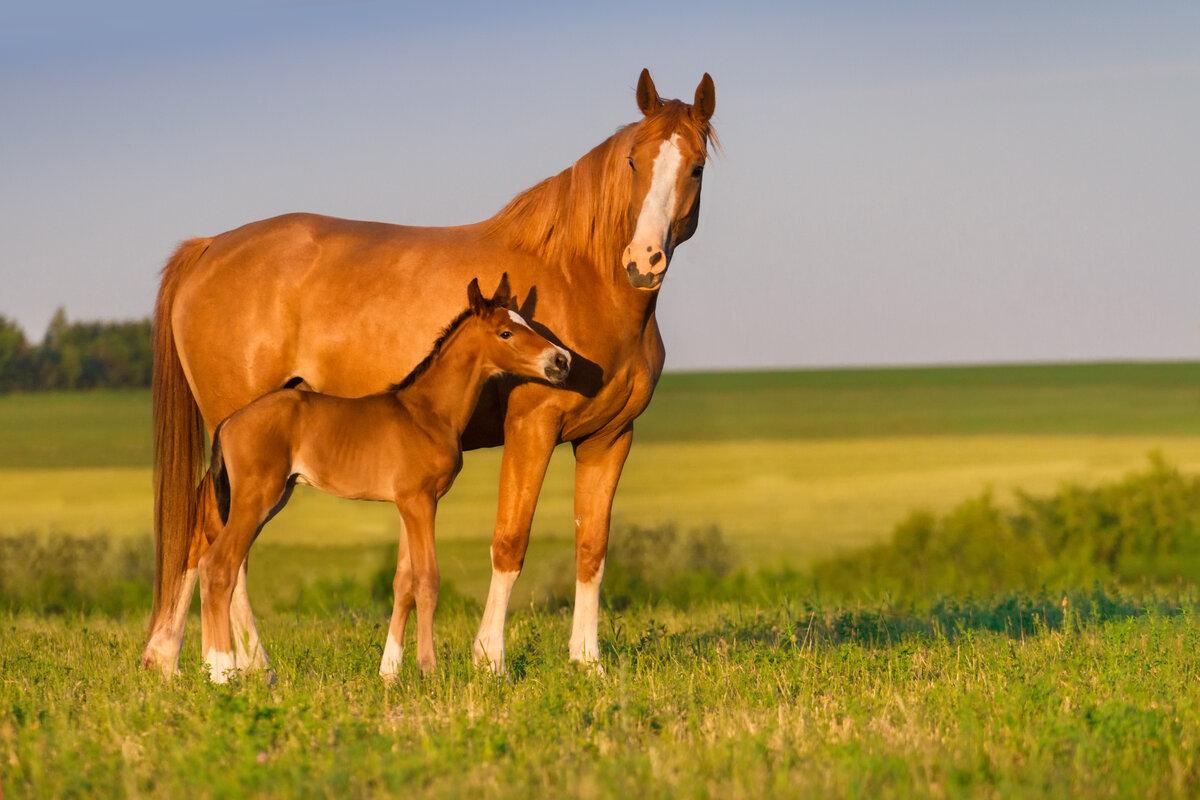 картинки лошадь и жеребята дроздов воспитанник