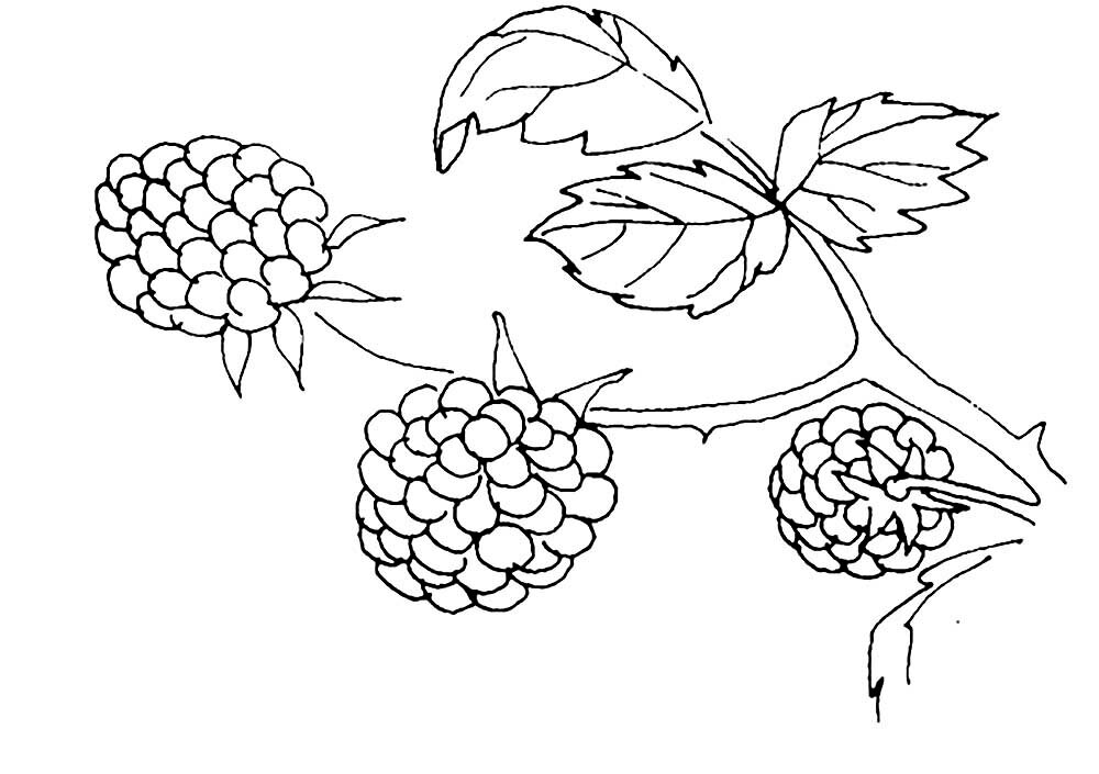 курильский картинки контуры ягоды мире
