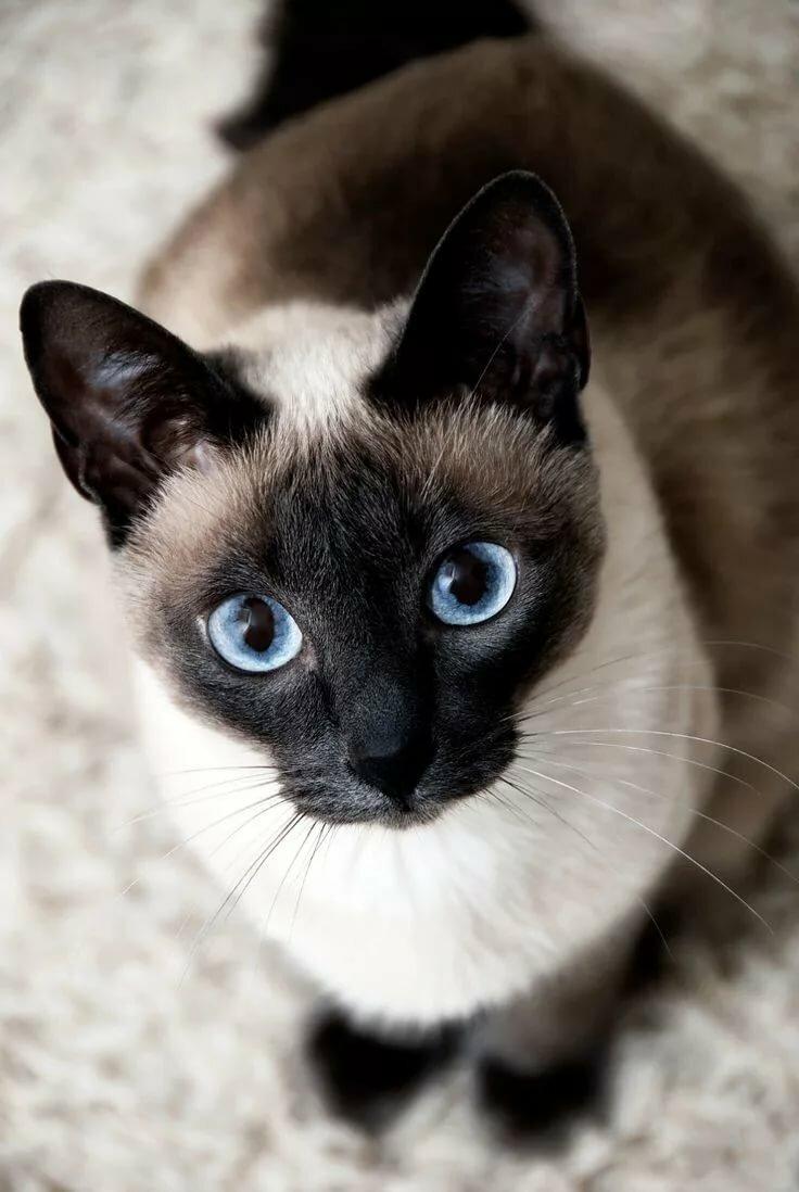 картинки кошек красивые сиамские кошки хочешь