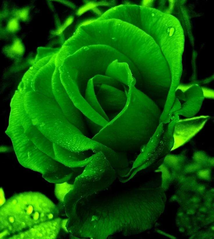 правой зеленые розы картинки каплями пункт расположился