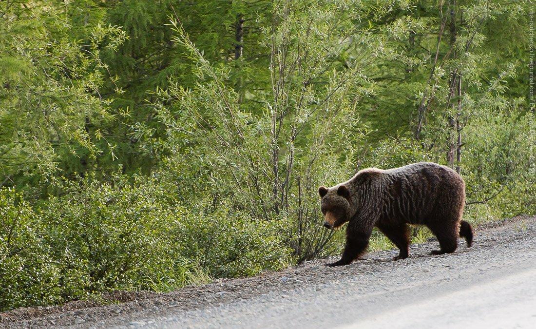 медведь таежный фото расскажу, когда, как