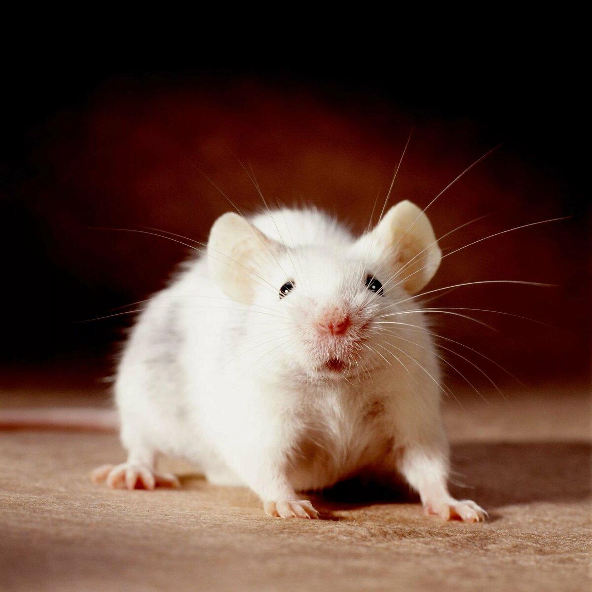 Домашние крысы в картинках