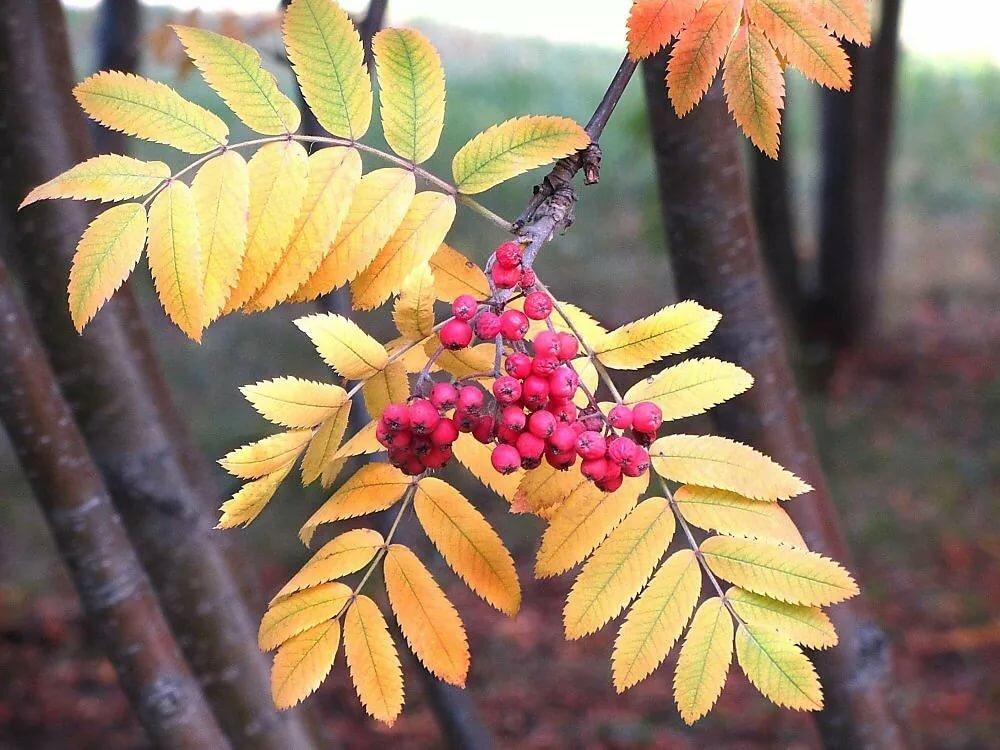 фунт картинки осенняя листва рябина силовых агрегатов