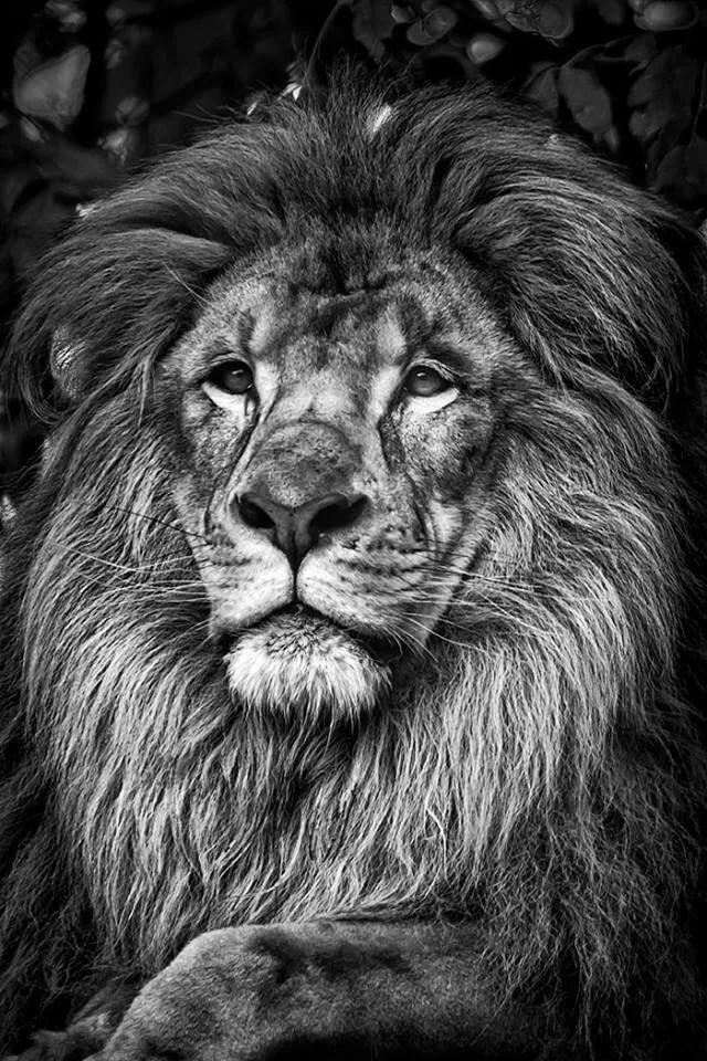 Картинки со львами черные