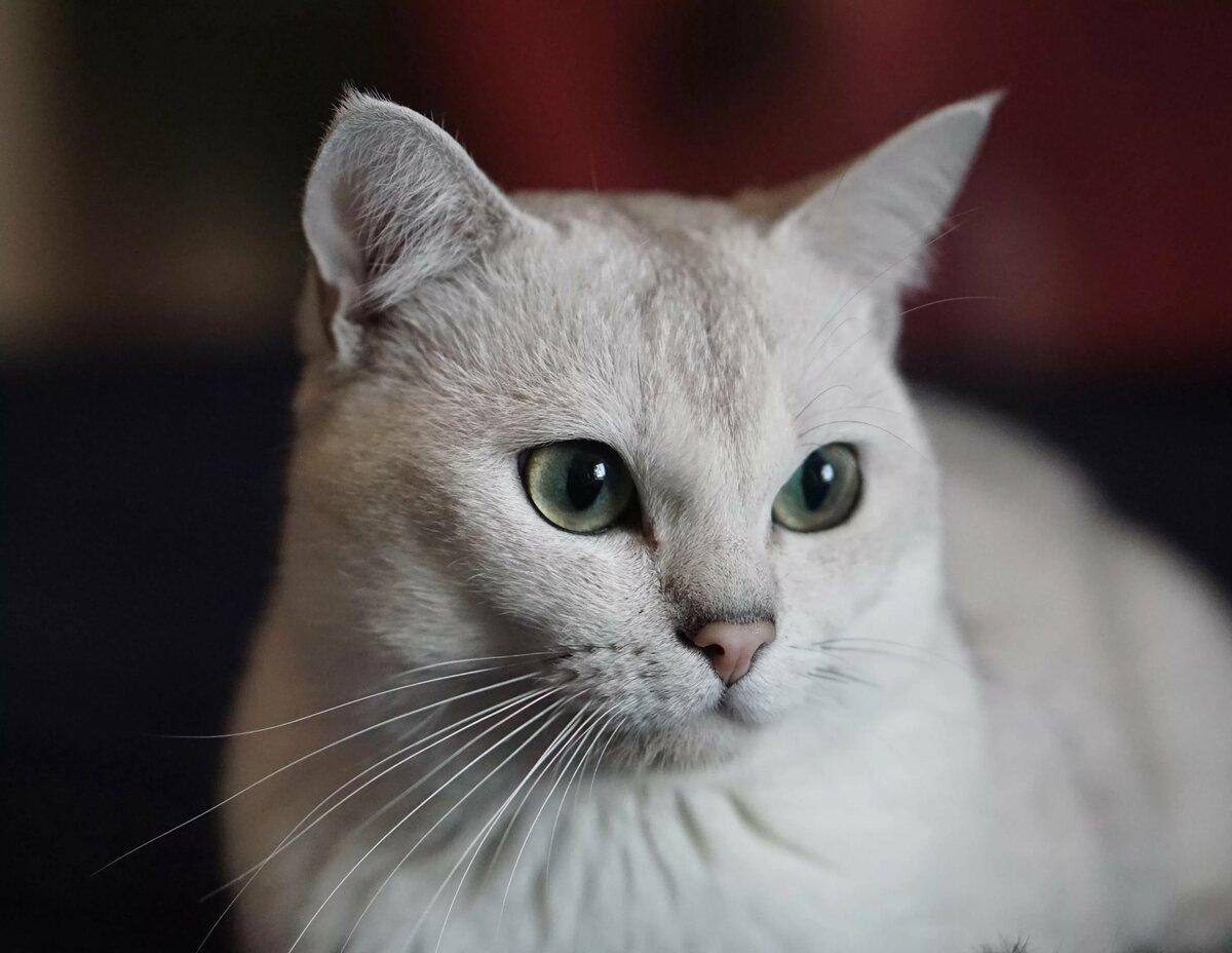 порода кошек бурмилла короткошерстная картинки поздравленья льются песней