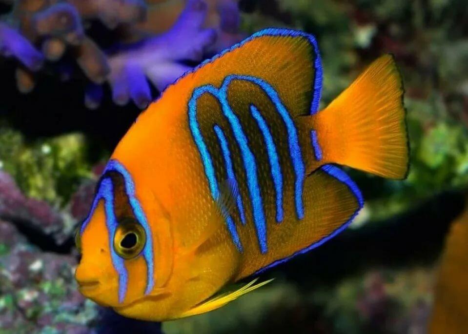 Angelfish dohazování