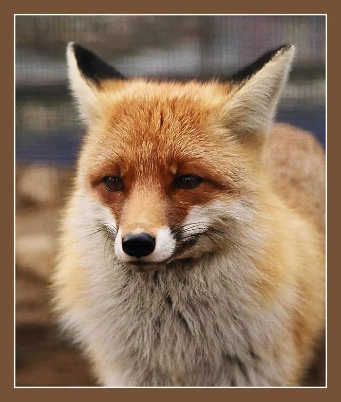 Картинки грустных лисичек