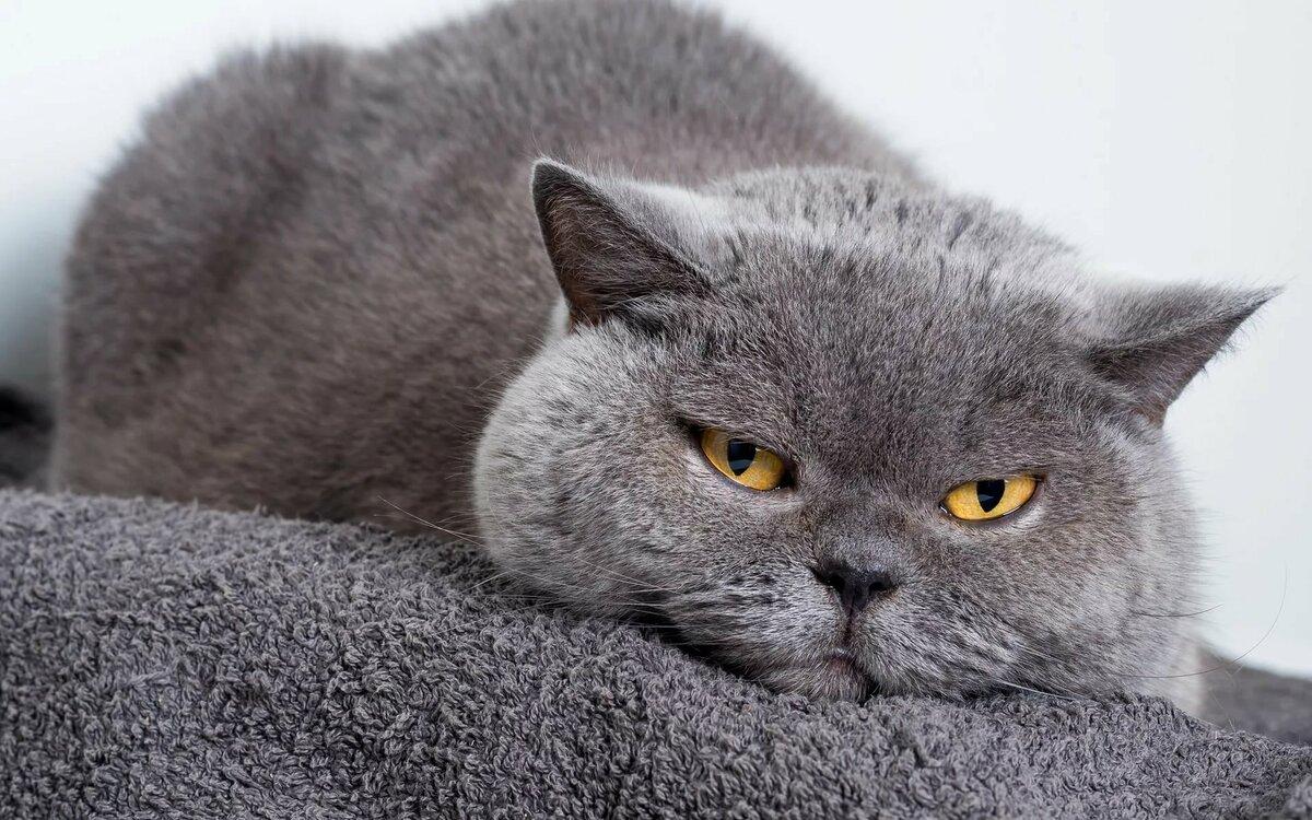 беларуси это картинки британских котов на телефон имеют