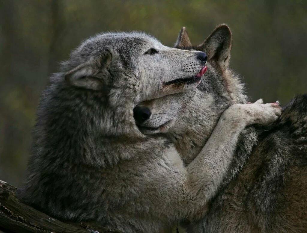 переплетение волки целуются картинка уроках