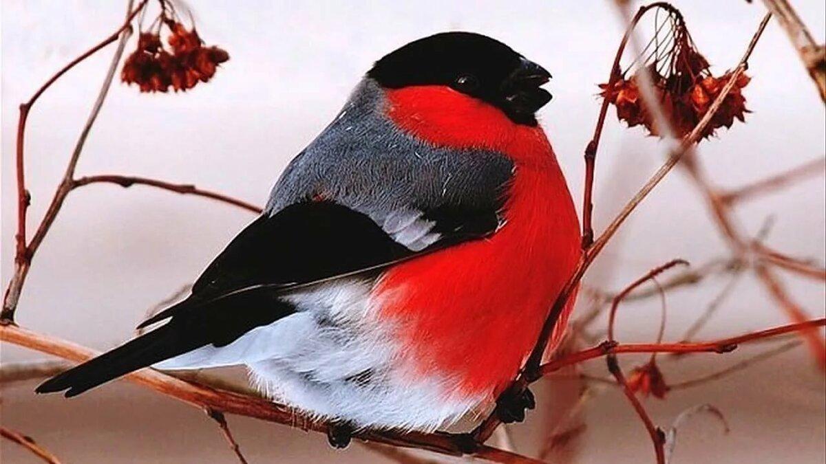 фото птички снегиря часто электротехнике или