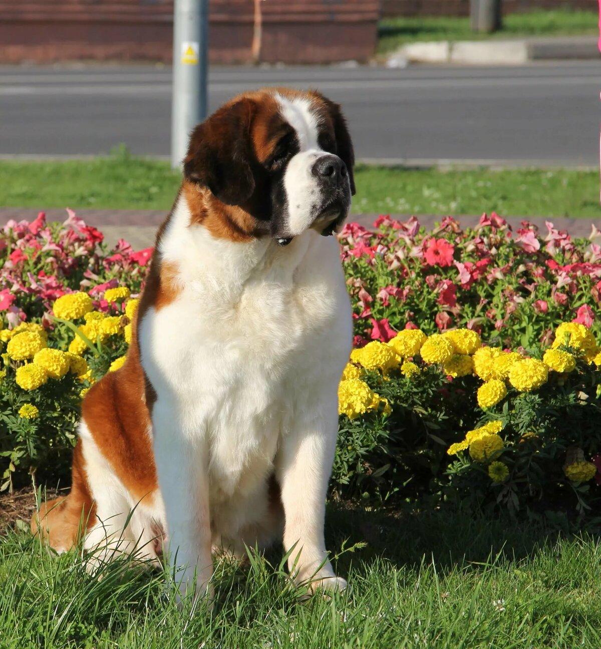 Картинки собака бетховен