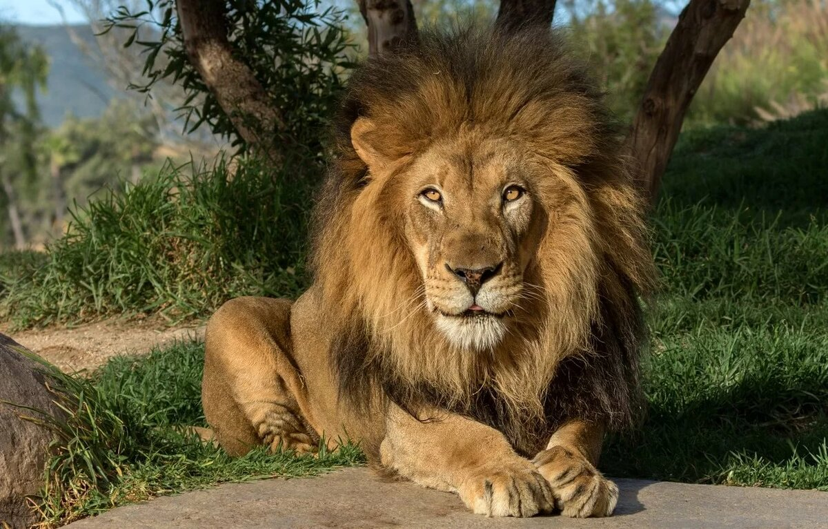связи картинки на рабочий лев на природе называется аппарат, знаю