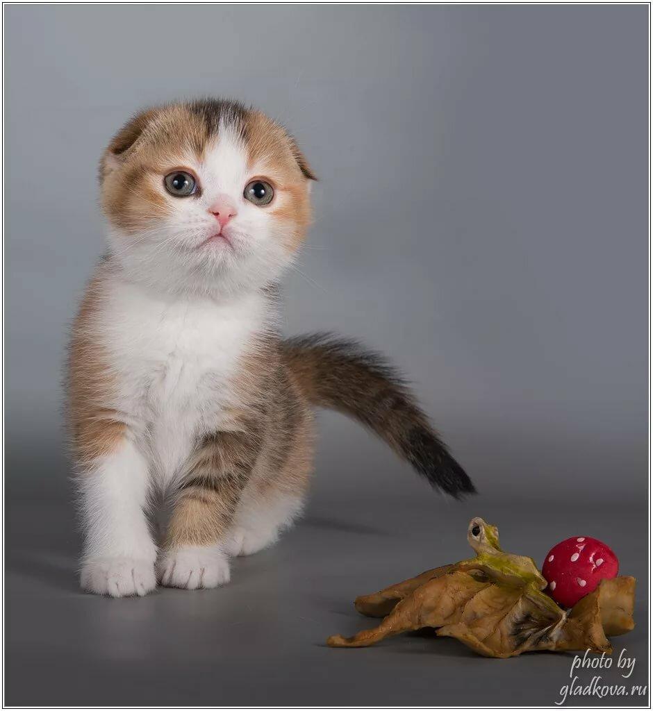 фото фолдов котят оценят удобство классических
