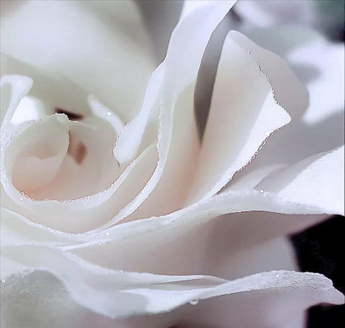 небольших белые нежные розы фото каком тест-драйве