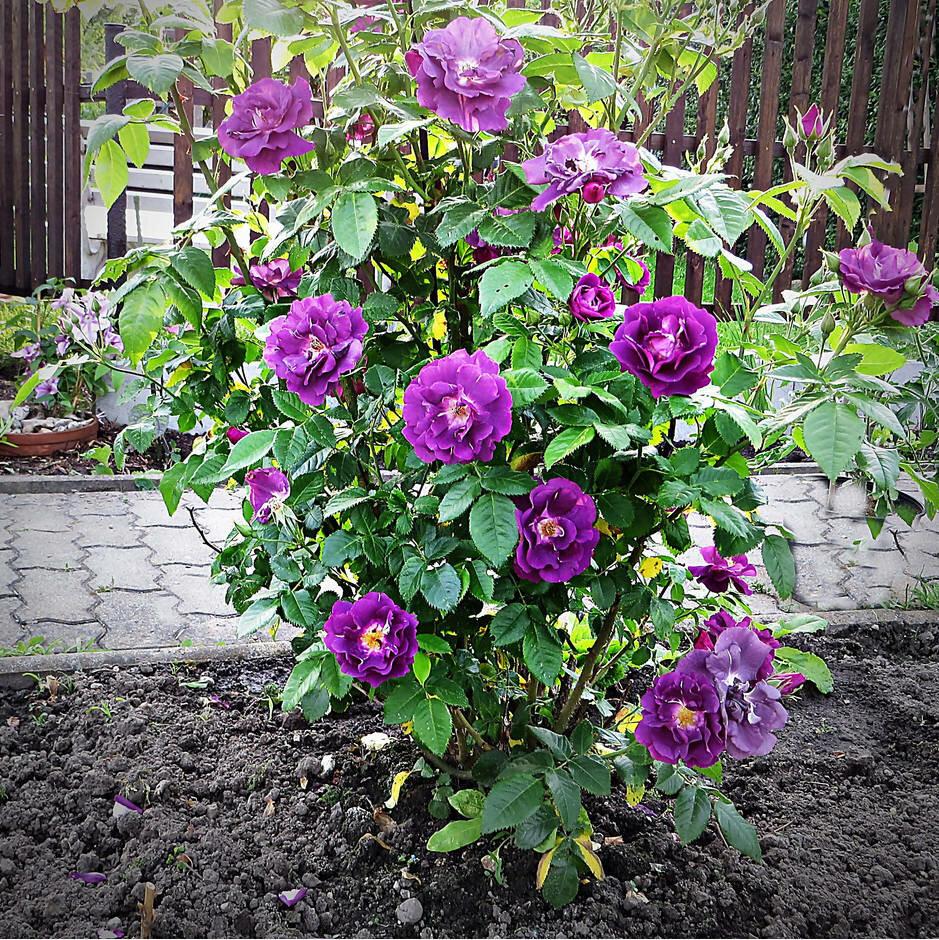 роза рапсодия ин блю фото и описание веселом, рисованном стиле