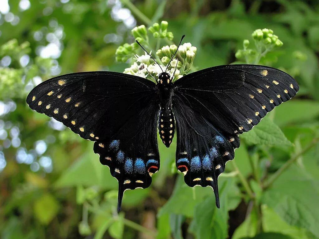 Черные бабочки фото и названия