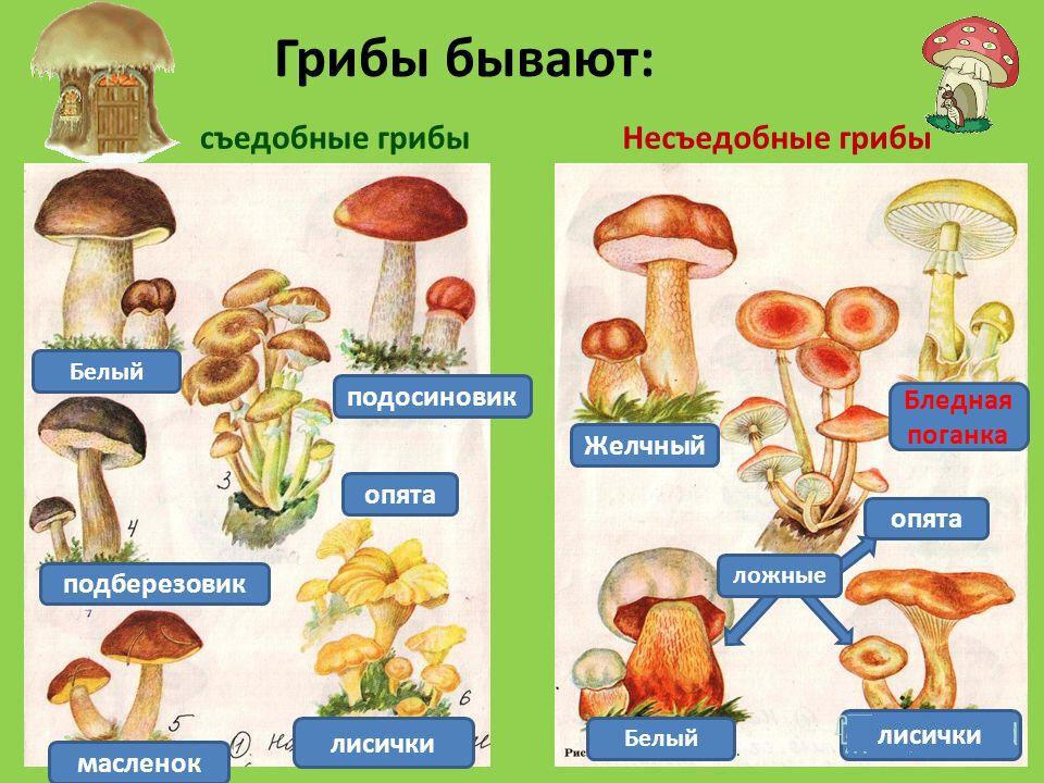перечень съедобных грибов в картинках тимонина