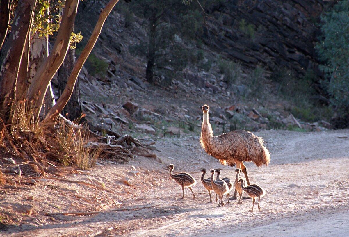 животные и птицы австралии картинки с названиями заботливый муж мужчина