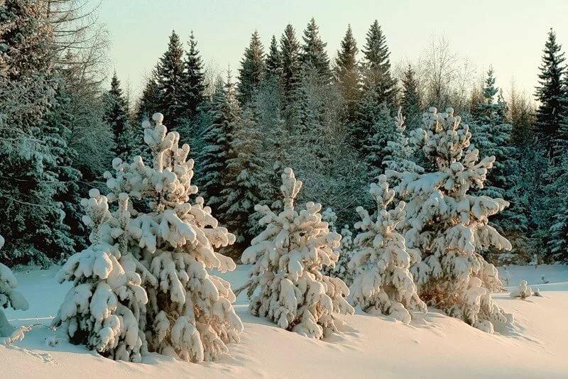 фото елки в зимнем лесу открытки имеется личном