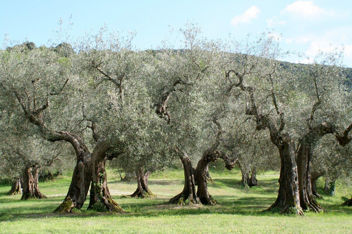 олива дерево фото рисунок экстерьер это