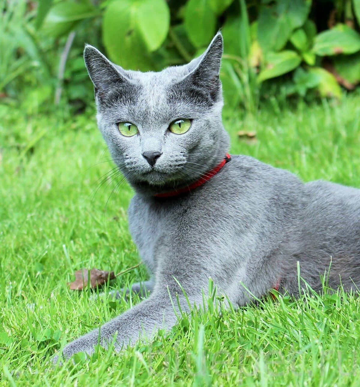 Смотреть картинки русских голубых кошек