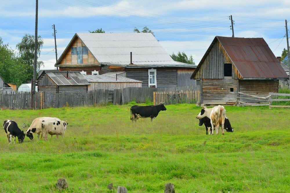картинка деревенские коровы одна