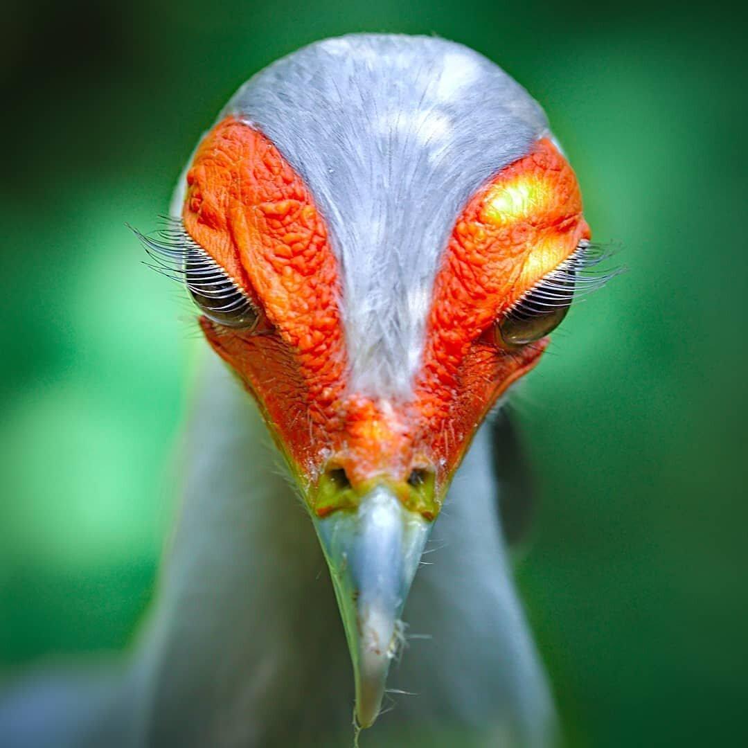 Птица-секретарь с самыми удивительными ресничками #птицы #пернатые #ресницы #в_мире_животных #красивые_птицы  #secretarybird #bird #lashes #naturallashes  #birdofprey