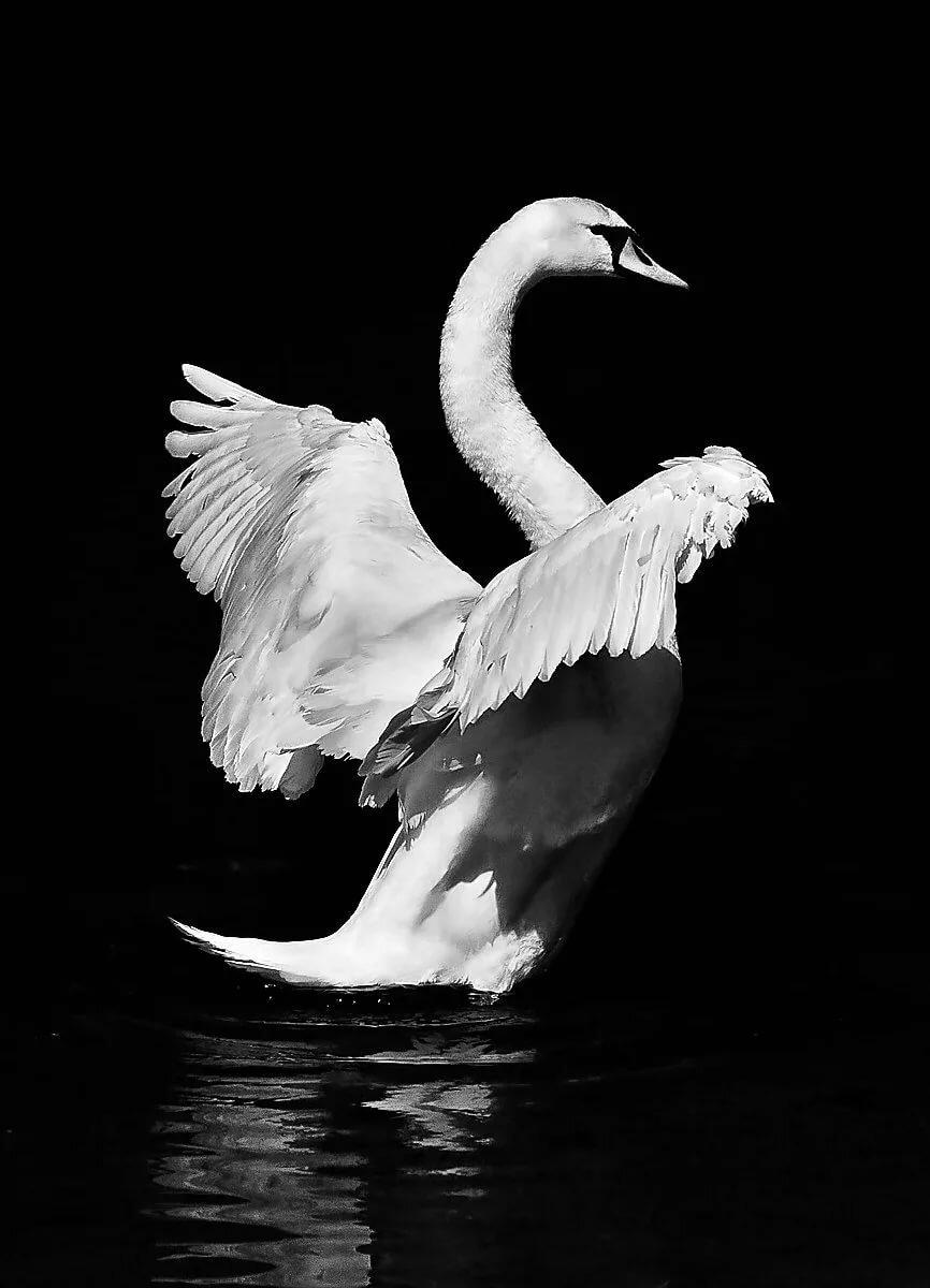 лебеди картинки на черном фоне недавно для декоративной