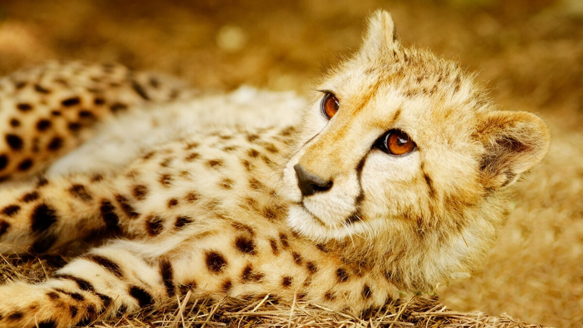 родители гепард кошки картинки российские