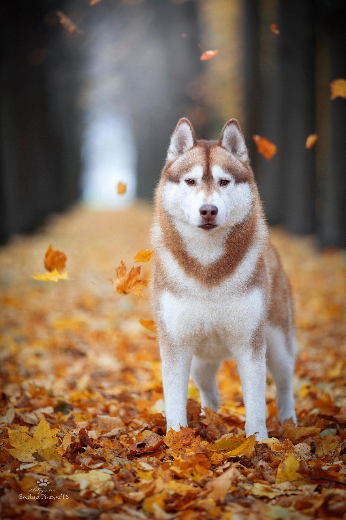Осень и хаски картинки