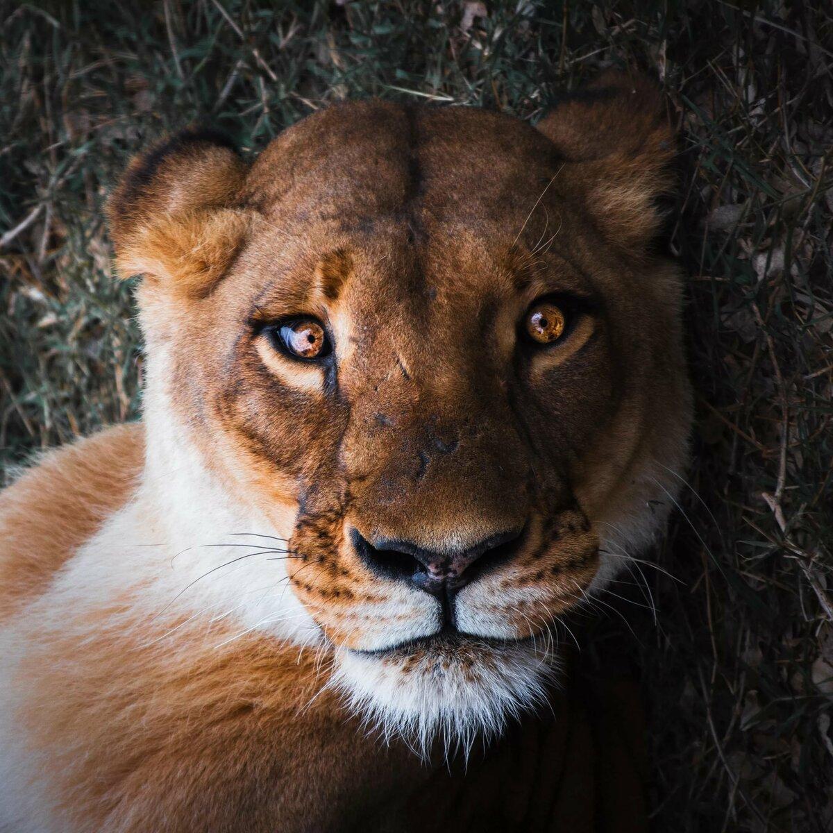 Картинка на аву львица