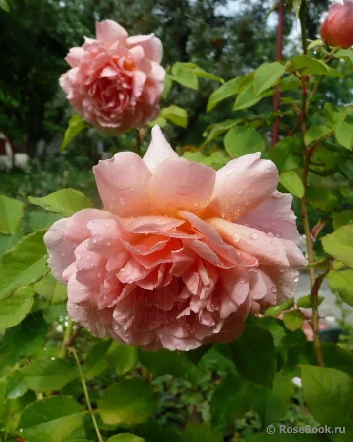 хотите роза консул фото розебук отклеивается пленка