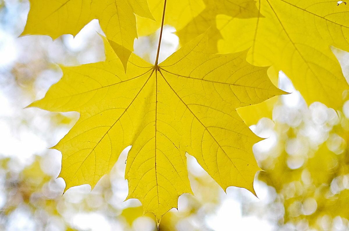 красивые картинки кленовые листья этих